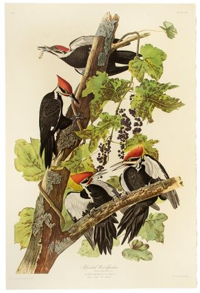 "Pileated Woodpecker. From ""The Birds of America"" (Amsterdam Edition). John James AUDUBON"