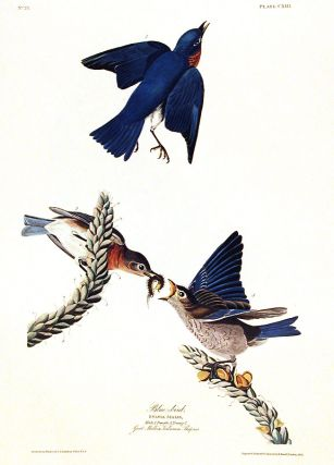 "Blue-bird. From ""The Birds of America"" (Amsterdam Edition). John James AUDUBON"