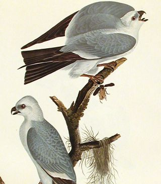 """Mississippi Kite. From """"The Birds of America"""" (Amsterdam Edition)"""