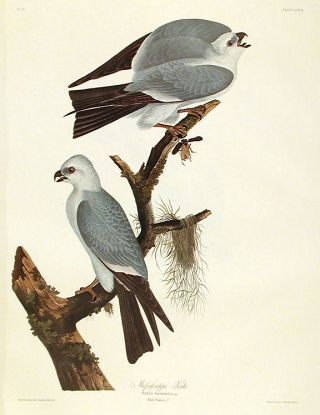 "Mississippi Kite. From ""The Birds of America"" (Amsterdam Edition). John James AUDUBON"