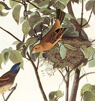 "Blue Grosbeak. From ""The Birds of America"" (Amsterdam Edition)"