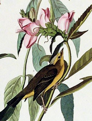 "Green Black-capt Flycatcher. From ""The Birds of America"" (Amsterdam Edition)"