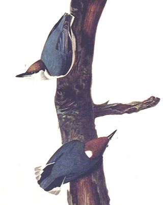 """Brown headed Nuthatch. From """"The Birds of America"""" (Amsterdam Edition)"""