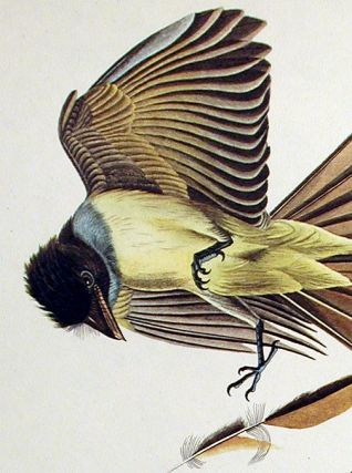 """Great Crested Flycatcher. From """"The Birds of America"""" (Amsterdam Edition)"""