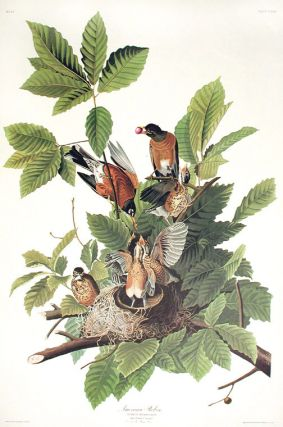 "American Robin. From ""The Birds of America"" (Amsterdam Edition). John James AUDUBON."
