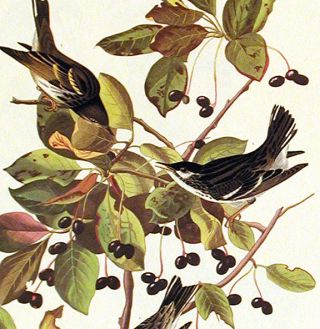 "Black-poll Warbler. From ""The Birds of America"" (Amsterdam Edition)"