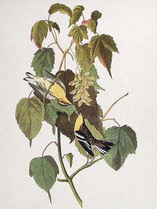 "Hemlock Warbler. From ""The Birds of America"" (Amsterdam Edition)"