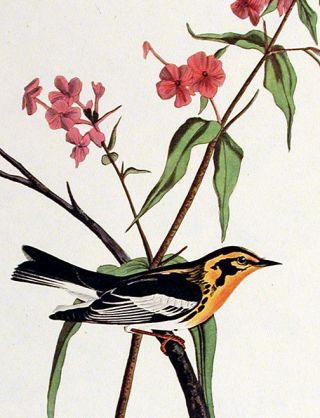 "Blackburnian Warbler. From ""The Birds of America"" (Amsterdam Edition)"