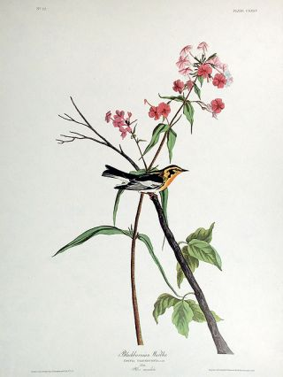 "Blackburnian Warbler. From ""The Birds of America"" (Amsterdam Edition). John James AUDUBON"
