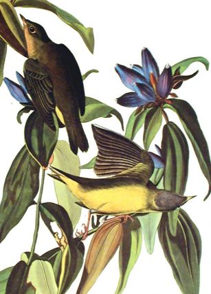 "Connecticut Warbler. From ""The Birds of America"" (Amsterdam Edition)"