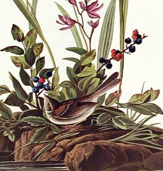 """Field Sparrow. From """"The Birds of America"""" (Amsterdam Edition)"""