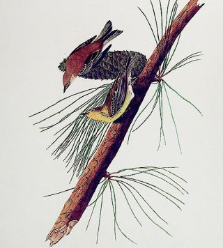 """Pine Creeping Warbler. From """"The Birds of America"""" (Amsterdam Edition)"""