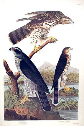 "Goshawk...Stanley Hawk. From ""The Birds of America"" (Amsterdam Edition). John James AUDUBON"
