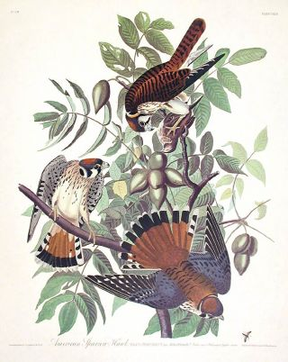"American Sparrow Hawk. From ""The Birds of America"" (Amsterdam Edition). John James AUDUBON"