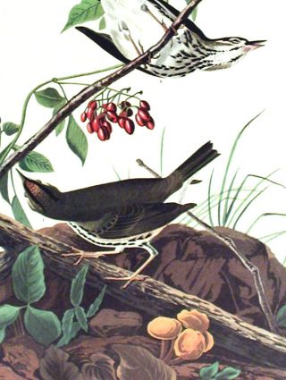 """Golden-crowned Thrush. From """"The Birds of America"""" (Amsterdam Edition)"""