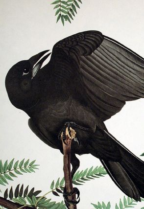 """Fish Crow. From """"The Birds of America"""" (Amsterdam Edition)"""
