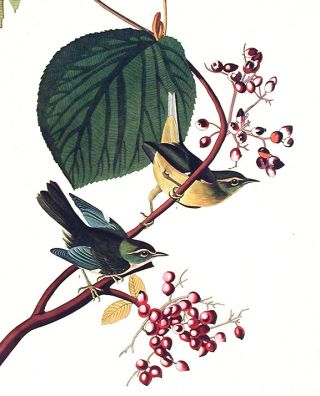 """Pine Swamp Warbler. From """"The Birds of America"""" (Amsterdam Edition)"""