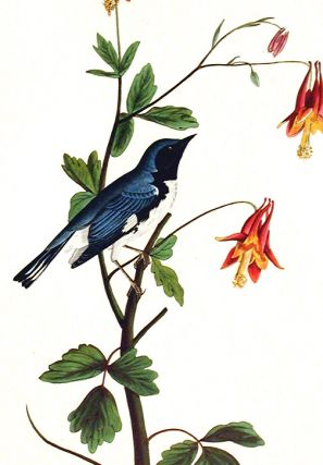 "Black-throated Blue Warbler. From ""The Birds of America"" (Amsterdam Edition)"