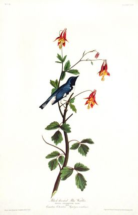 "Black-throated Blue Warbler. From ""The Birds of America"" (Amsterdam Edition). John James AUDUBON"