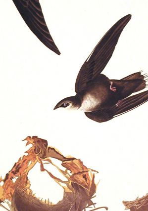"American Swift. From ""The Birds of America"" (Amsterdam Edition)"
