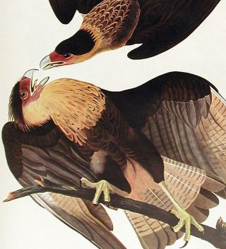 "Brasilian Caracara Eagle. From ""The Birds of America"" (Amsterdam Edition)"