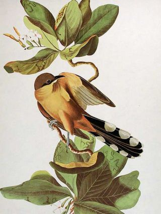"Mangrove Cuckoo. From ""The Birds of America"" (Amsterdam Edition)"