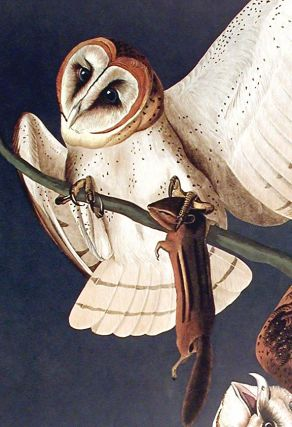 """Barn Owl. From """"The Birds of America"""" (Amsterdam Edition)"""