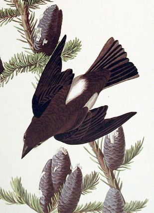 """Olive sided Flycatcher. From """"The Birds of America"""" (Amsterdam Edition)"""
