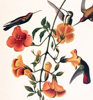 "Mangrove Humming Bird. From ""The Birds of America"" (Amsterdam Edition)"
