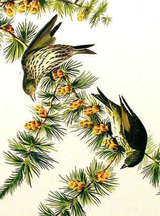 """Pine Finch. From """"The Birds of America"""" (Amsterdam Edition)"""