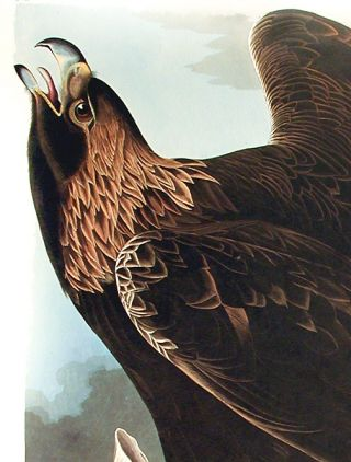 "Golden Eagle. From ""The Birds of America"" (Amsterdam Edition)"