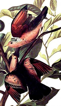 """Ground Dove. From """"The Birds of America"""" (Amsterdam Edition)"""