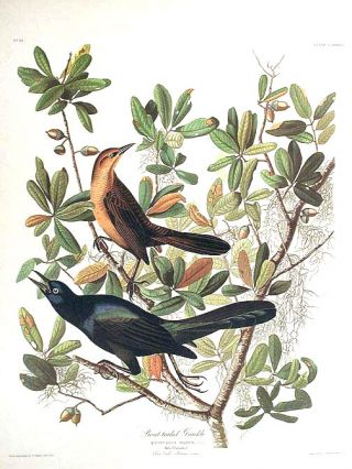 "Boat-tailed Grackle. From ""The Birds of America"" (Amsterdam Edition). John James AUDUBON"