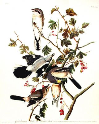 "Great American Shrike or Butcher Bird. From ""The Birds of America"" (Amsterdam Edition). John..."