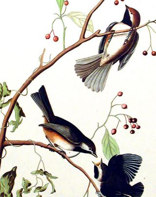 """Canadian Titmouse. From """"The Birds of America"""" (Amsterdam Edition)"""