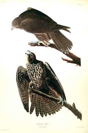 "Labrador Falcon. From ""The Birds of America"" (Amsterdam Edition). John James AUDUBON"