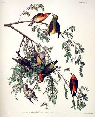 "American Crossbill. From ""The Birds of America"" (Amsterdam Edition). John James AUDUBON"