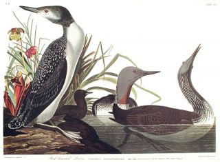 "Red-throated Diver. From ""The Birds of America"" (Amsterdam Edition). John James AUDUBON"