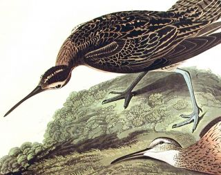 "Esquimaux Curlew. From ""The Birds of America"" (Amsterdam Edition)"