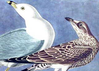 """Common Gull. From """"The Birds of America"""" (Amsterdam Edition)"""