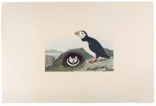 "Puffin. From ""The Birds of America"" (Amsterdam Edition)"