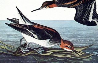 "Hyperborean Phalarope. From ""The Birds of America"" (Amsterdam Edition)"