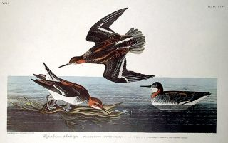 "Hyperborean Phalarope. From ""The Birds of America"" (Amsterdam Edition). John James AUDUBON"