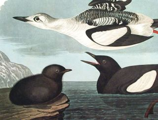"Black Guillemot. From ""The Birds of America"" (Amsterdam Edition)"