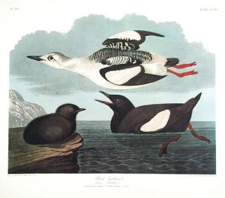 "Black Guillemot. From ""The Birds of America"" (Amsterdam Edition). John James AUDUBON"