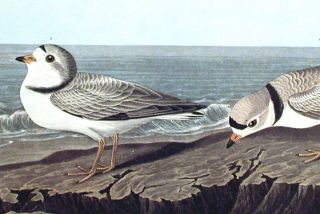 "Piping Plover. From ""The Birds of America"" (Amsterdam Edition)"