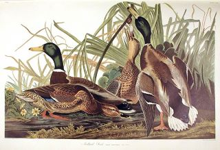 "Mallard Duck. From ""The Birds of America"" (Amsterdam Edition). John James AUDUBON."