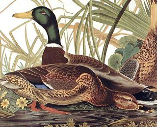 "Mallard Duck. From ""The Birds of America"" (Amsterdam Edition)"