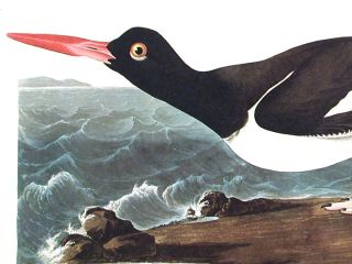 """Pied oyster-catcher. From """"The Birds of America"""" (Amsterdam Edition)"""