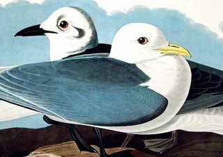 "Kittiwake Gull. From ""The Birds of America"" (Amsterdam Edition)"